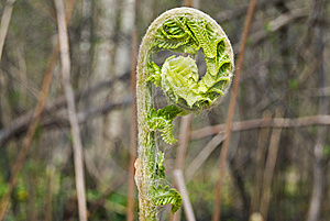 Unfurling Fern Royalty Free Stock Photography - Image: 9347707