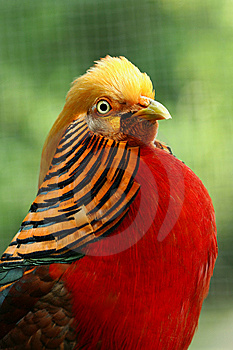 Golden Pheasant Stock Photography - Image: 9353262
