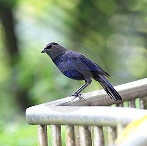 Blue Whistling Thrush Royalty Free Stock Photo - Image: 9355025