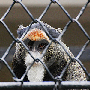 Loss Of Their Freedom The Baboons Royalty Free Stock Photo - Image: 9357615
