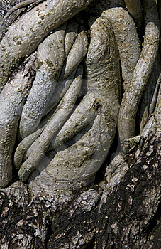 Roots Of Bonsai Stock Photo - Image: 9358140