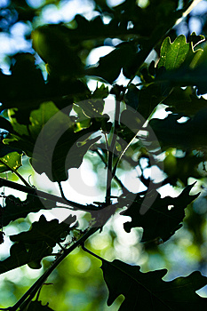 Oak Leaves Stock Photo - Image: 9362990