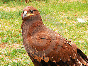 GOLDEN EAGLE Stock Photos - Image: 9363943