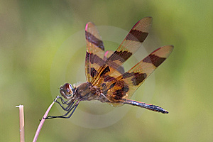 Eastern Amberwing Royalty Free Stock Images - Image: 9364069