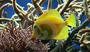 Tropical Fish Royalty Free Stock Photo - Image: 9365785