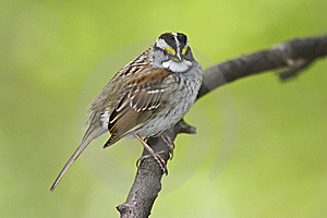 White-throated Sparrow (Zonotrichia Albicollis) Stock Photography - Image: 9366592