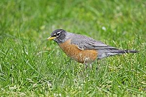 American Robin (Turdus Migratorius Migratorius) Stock Photo - Image: 9366690