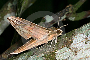 Moth Royalty Free Stock Photo - Image: 9367985