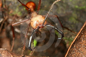 Army Ant Stock Photography - Image: 9368432