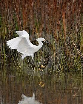 Snowy Egret Stock Image - Image: 9369181