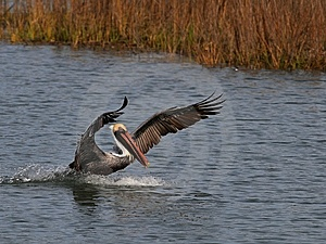 Brown Pelican Stock Images - Image: 9369204