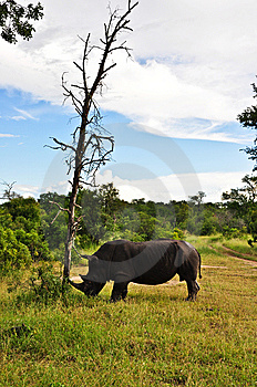 Rhino Tree Royalty Free Stock Image - Image: 9370466