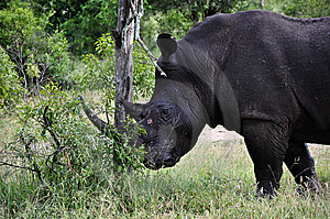 Rhinocéros Image stock - Image: 9370471