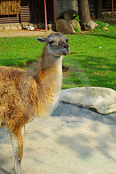 The Lama Animal 2 Stock Image - Image: 9371811