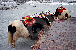 Yaks Wait In Whiteriver Stock Photo - Image: 9375580