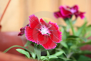 Dianthus Hybrida Royalty Free Stock Images - Image: 9375609