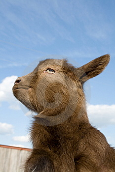 The Young  Goatling. Royalty Free Stock Image - Image: 9375786