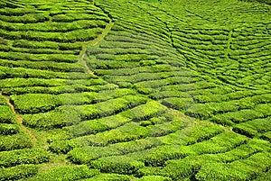 Tea Valley Stock Photos - Image: 9378993