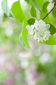 Lilac Flowers Royalty Free Stock Images - Image: 9379939
