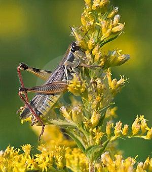 Red Legged Grasshopper Royalty Free Stock Photos - Image: 9380498