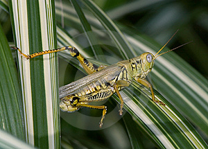 Differential Grasshopper Stock Photography - Image: 9380592