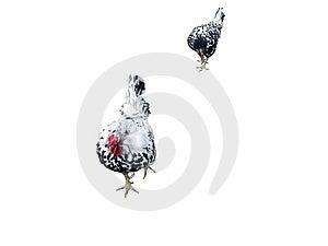 卡通母鸡||母鸡简笔画||母鸡模具