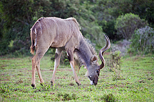 Kudu Grazing Stock Images - Image: 9384824