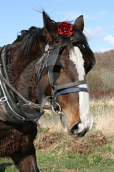 Irish Horse And Red Rose Stock Photo - Image: 9387230