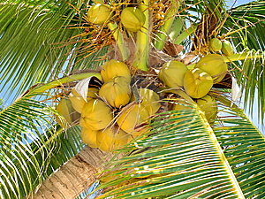 Ripe Tropical Coconuts Stock Photos - Image: 9393863