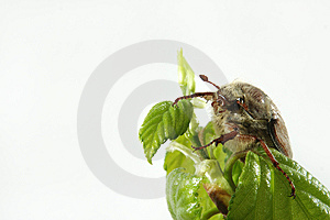 May-bug Royalty Free Stock Image - Image: 9395006