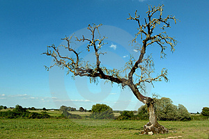Tree in field Royalty Free Stock Image