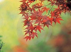 Maple And Cane Stock Image - Image: 943811