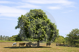 Cows In Shade Royalty Free Stock Photography - Image: 948057