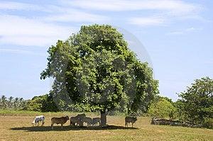 Коровы в тени Стоковая Фотография RF - изображение: 948057
