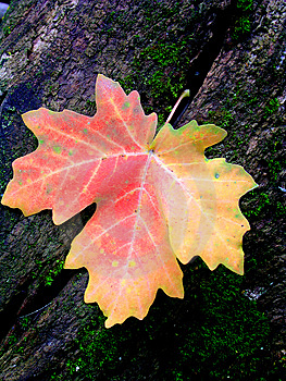 Autum Maple Leaf Stock Images - Image: 9402994