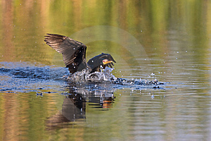Reed Cormorant Royalty Free Stock Photos - Image: 9411078