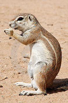 Ground Squirrel Stock Image - Image: 9417911
