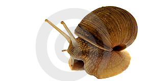 Garden Snail Royalty Free Stock Images - Image: 9418589