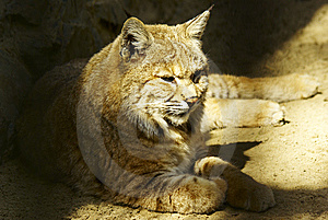 Lynx Resting Royalty Free Stock Photos - Image: 9419628
