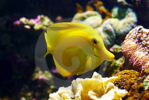 Feeding Yellow Tang (Zebramosa) Royalty Free Stock Photo - Image: 9419695