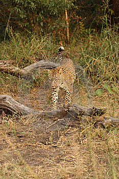 Leopard In Sabi Sand Private Reserve Stock Images - Image: 9425154