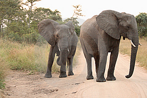 Elephants In The Sabi Sands Private Game Reserve Royalty Free Stock Images - Image: 9429089