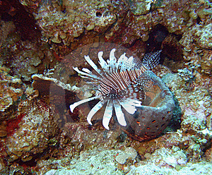Lionfish Plumage Royalty Free Stock Image - Image: 9434766