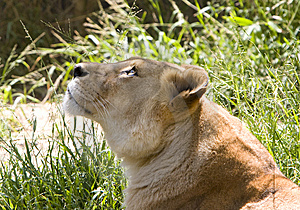 Lioness Looking Upward Stock Photos - Image: 9446373