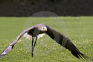 Flying Bald Eagle Royalty Free Stock Image - Image: 9450936