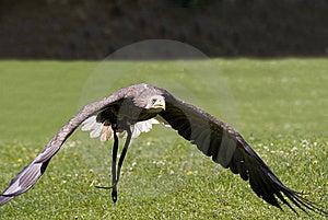 Flying Bald Eagle Royalty Free Stock Image - Image: 9450936