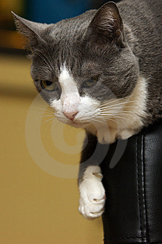 Cat Sitting On A Chair, The Backrest. Stock Photos - Image: 9454973