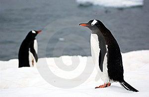 Gentoo Penguin Stock Photo - Image: 9458080