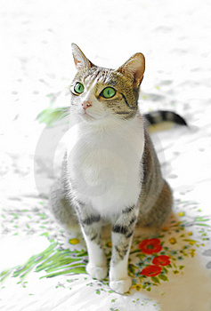 Green Eyed Tabby Stock Image - Image: 9462841