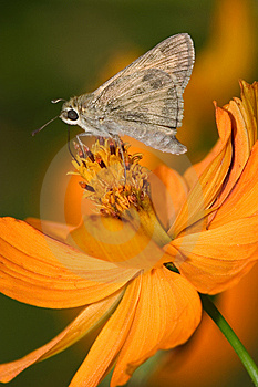 Fiery Skipper Royalty Free Stock Photos - Image: 9465358